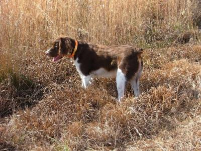 Sara Beth II - American Brittany Hunting Dog Pictures
