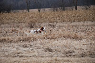 Cailin in Training - Irish Red and White Setter Hunting Dog Pictures