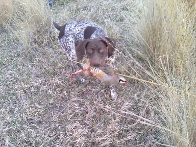 Finished to the gun - German Shorthaired Pointer Hunting Dog Pictures
