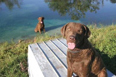 Requiem for a Retriever - Chesapeake Bay Retriever Hunting Dog Pictures