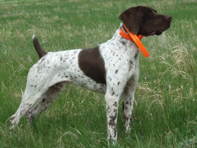 CONGRATULATIONS ON YOUR JUNIOR HUNTER GSP! - German Shorthaired Pointer Hunting Dog Pictures
