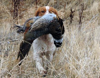 Annie's First Pheasant - American Brittany Hunting Dog Pictures