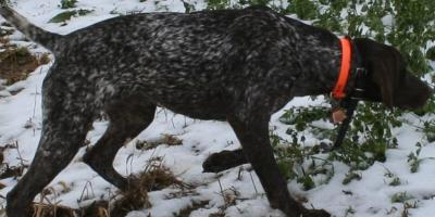 My first German Shorthair - German Shorthaired Pointer Hunting Dog Pictures