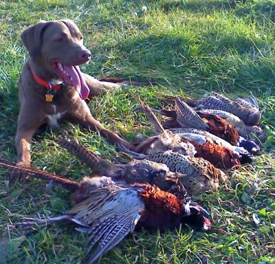 Dakota - Chesapeake Bay Retriever Hunting Dog Pictures