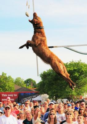 Who says dogs don't fly? - Chesapeake Bay Retriever Hunting Dog Pictures