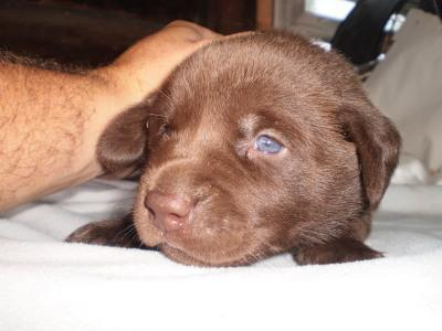 Beautiful Blue Eyes - Labrador Retriever Hunting Dog Pictures