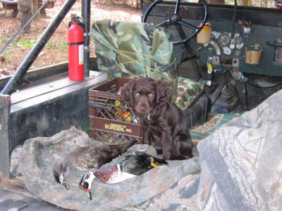 Coosaw's first Duck - Boykin Spaniel Hunting Dog Pictures