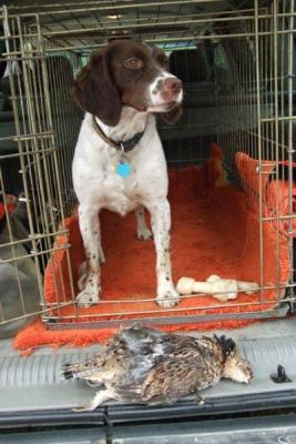 Hope's first Grouse - American Brittany Hunting Dog Pictures