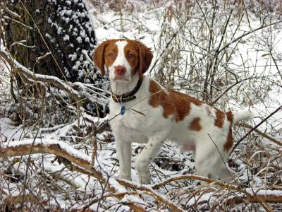 Woody - American Brittany Hunting Dog Pictures