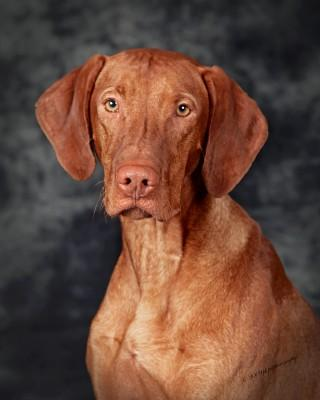 Champion Vizsla - Vizsla Hunting Dog Pictures