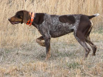 He is the Big Bossman - German Shorthaired Pointer Hunting Dog Pictures