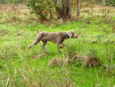 BISS CH Driftwood's Time Out Of Mind JH NSD NRD V - Weimaraner Hunting Dog Pictures