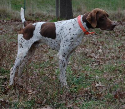 MILES wins His FIELD CHAMPION title - German Shorthaired Pointer Hunting Dog Pictures