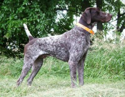 Ben wins 5 point Open Gun Dog major - German Shorthaired Pointer Hunting Dog Pictures