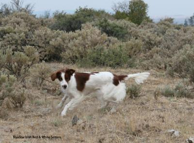 Trilogy Award Winner - Irish Red and White Setter Hunting Dog Pictures