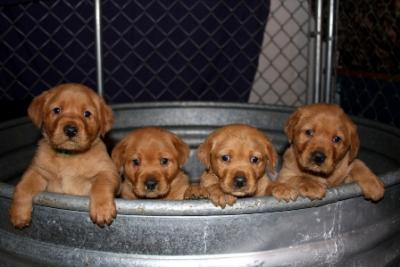 Fox Red Lab Pups - Labrador Retriever Hunting Dog Pictures