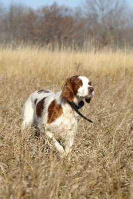 Getting Ready for Master Hunter - Irish Red and White Setter Hunting Dog Pictures