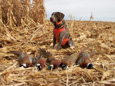 October Pheasant Hunt - German Shorthaired Pointer Hunting Dog Pictures