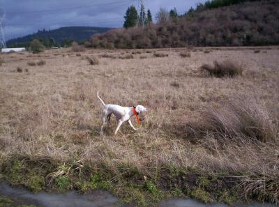 Remi's first hunting trip - English Pointer Hunting Dog Pictures