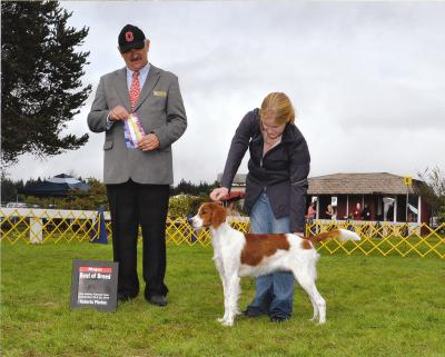 New AKC Champion - Irish Red and White Setter Hunting Dog Pictures