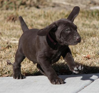 Getting Ready for Take off (a.k.a Dumbo) - German Shorthaired Pointer Hunting Dog Pictures