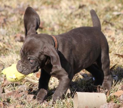 This Lil' Yellow Ducky isn't going Anywhere! - German Shorthaired Pointer Hunting Dog Pictures