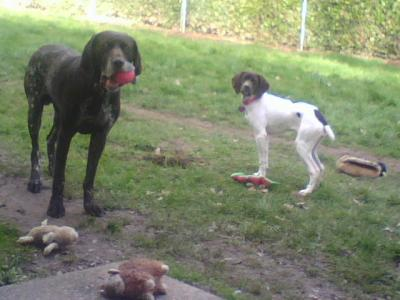 Gorgeous German Shorthaired Pointers - German Shorthaired Pointer Hunting Dog Pictures