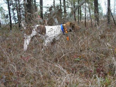 2011 NGPDA  ALL BREED  OPEN SHOOTING DOG CHAMPION - German Shorthaired Pointer Hunting Dog Pictures