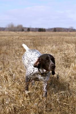 New AKC Show Champion! - German Shorthaired Pointer Hunting Dog Pictures