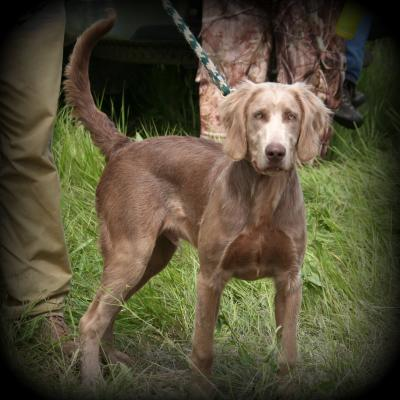 Long Hair Weimaraner Earns NAVHDA Prize II at 6 mo - Weimaraner Hunting Dog Pictures