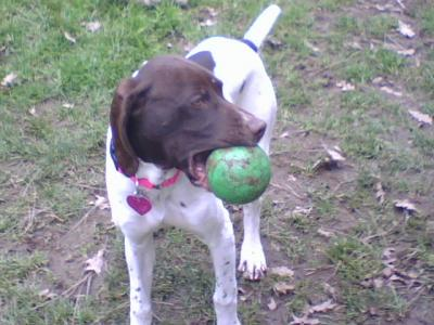 Never too early to learn to play ball! - German Shorthaired Pointer Hunting Dog Pictures