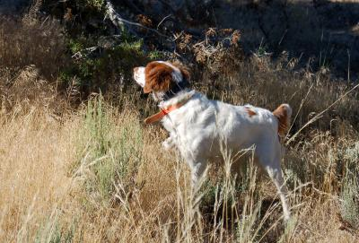 Brittany Puppy Pointing Hard - American Brittany Hunting Dog Pictures