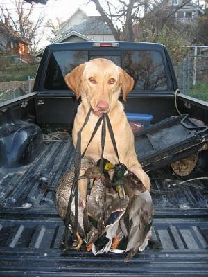 Pinny Hunting - Labrador Retriever Hunting Dog Pictures