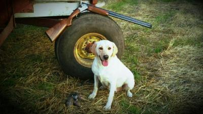 Wild Wind's Sayde May - Labrador Retriever Hunting Dog Pictures