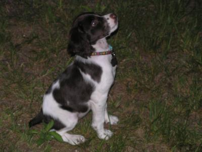 Callie - American Brittany Hunting Dog Pictures