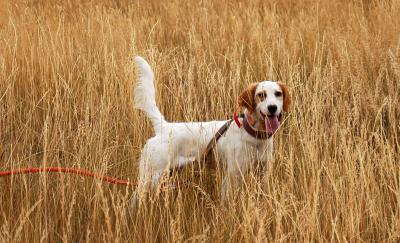 Young English Setter Female - English Setter Hunting Dog Pictures