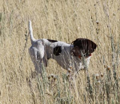 Female GSP First Hunt - German Shorthaired Pointer Hunting Dog Pictures