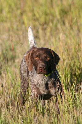 Mr. Elpheasedente - German Shorthaired Pointer Hunting Dog Pictures