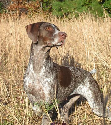 Dam of our 2011 NAVHDA Breeders Award Litter - German Shorthaired Pointer Hunting Dog Pictures