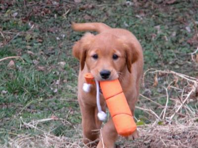 First Golden Retrieve - Golden Retriever Hunting Dog Pictures