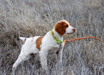 Annabellas Blazing Bandit - American Brittany Hunting Dog Pictures