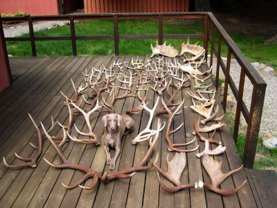 Shed Hunter Extraordinaire - Weimaraner Hunting Dog Pictures