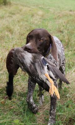 NAVHDA Utility Prize 1 190 points - German Shorthaired Pointer Hunting Dog Pictures