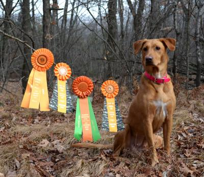 Versatile Fox Red Lab in Wisconsin - Labrador Retriever Hunting Dog Pictures