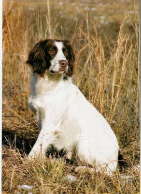 Field Champion of Health - English Springer Spaniel Hunting Dog Pictures