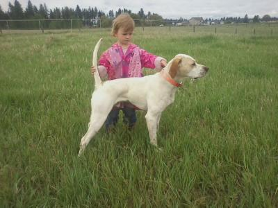 3 Year Old Haileys 11 Month Pointer (Orange Crush) - English Pointer Hunting Dog Pictures