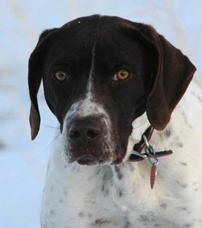 German Shorthair Pointer Pup - German Shorthaired Pointer Hunting Dog Pictures