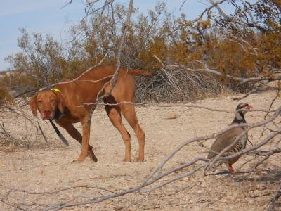 Field CH & Master Hunter! - Vizsla Hunting Dog Pictures