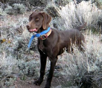 Abby Chukar Hunting - German Shorthaired Pointer Hunting Dog Pictures