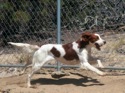 New JH on our CH - Irish Red and White Setter Hunting Dog Pictures